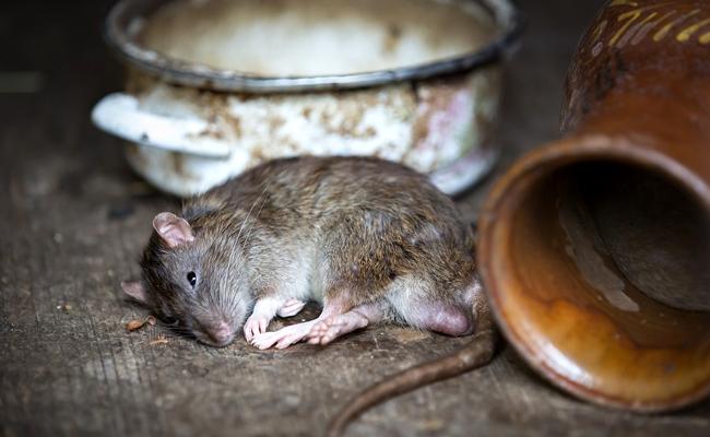 Rongeurs nuisibles dans la maison : quelles solutions pour les éradiquer ?